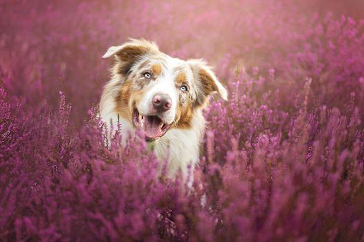 собака, собаки, цветы, луг, портрет, морда, животные
