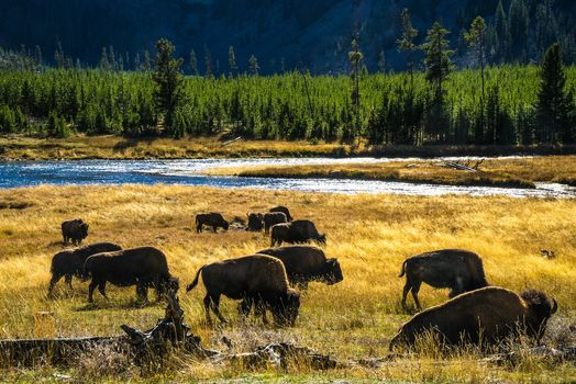 aurochs, Bison, forest, field, river, nature, animals