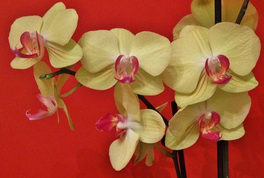 Фаленопсис, орхидея, экзотика