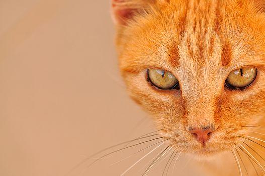рыжий кот, кот, кошка, рыжая, мордочка, взгляд, глаза, усы, портрет