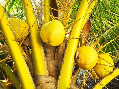 кокосовая пальма, пальма, кокосы