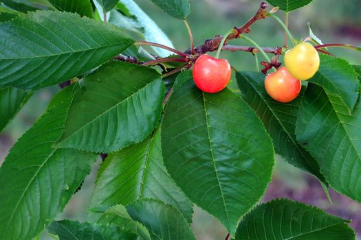 ветки, листья, ягоды, черешня