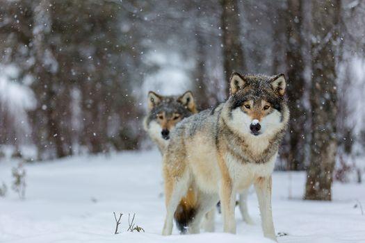 волк, волки, животные, зима