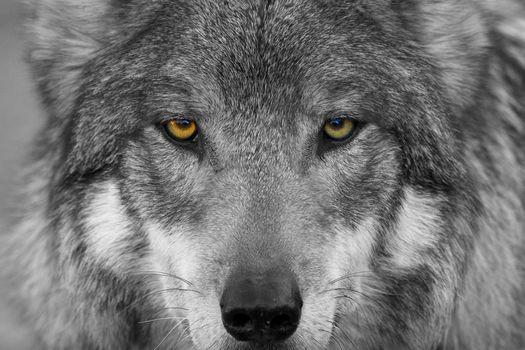 wolf, predator, Snout, eyes, view