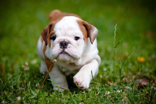 Английский бульдог, щенок, собака