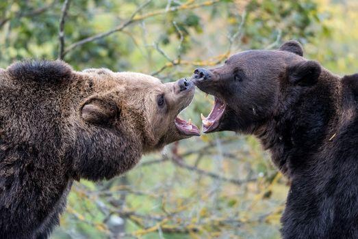 Bears, brown, animals