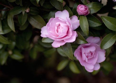 Flowers, rose, Roses, COMPOSITION, garden, bush