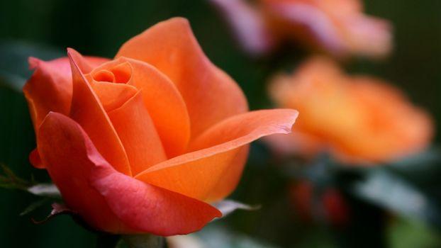 Бутон розы (16:9, 8 шт)