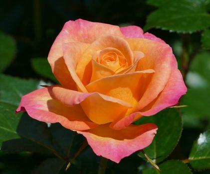 роза, розы, цветы, флора