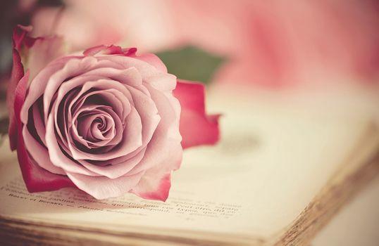 роза, бутон, книга, макро