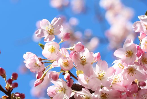 sakura, Cherry Blossoms, ветка, цветы, флора, весна, цветение