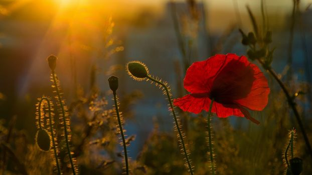 Kisenok рулит, цветок, цветы, флора, макро, маки, мак