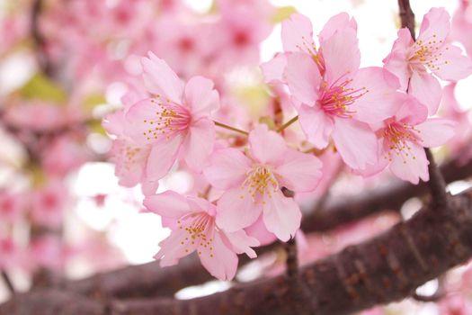 Сакура, вишневый, вишни, вишня, цветы, ветки, весна, цветение, флора