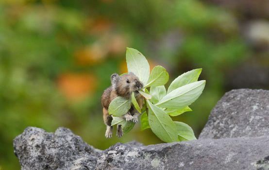 пищуха, травинка, листочки, прыжок