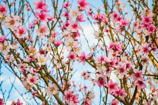 персиковое дерево, ветки, цветки, цветение, весна