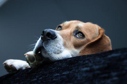beagle, dog, Snout