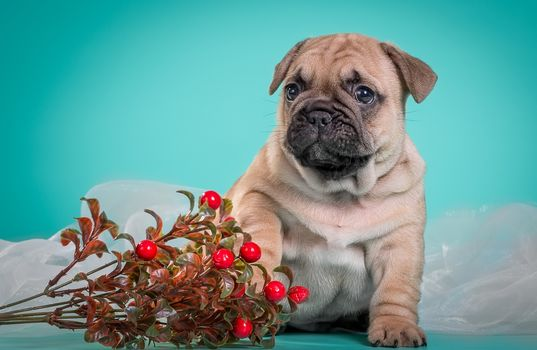 Kisenok taxis, dog, Dog, French Bulldog, bulldog, Bulldogs, puppy, Puppies