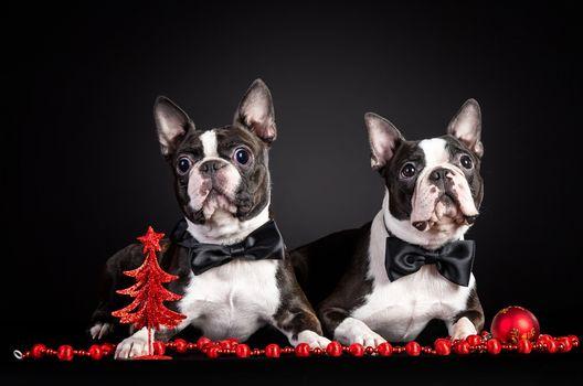 Kisenok taxis, dog, Dog, French Bulldog, bulldog, Bulldogs, puppy, Puppies, New Year