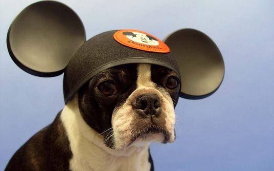 Kisenok taxis, dog, Dog, French Bulldog, bulldog, Bulldogs, Mickey Mouse