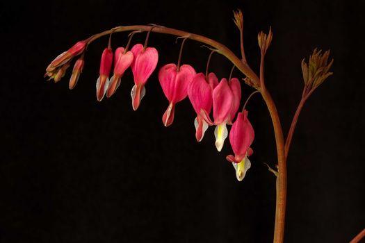 Цветы похожие на разбитое сердце