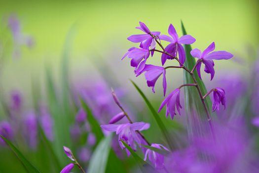 Блетилла горлица, растение, цветок, макро, Bletilla striata