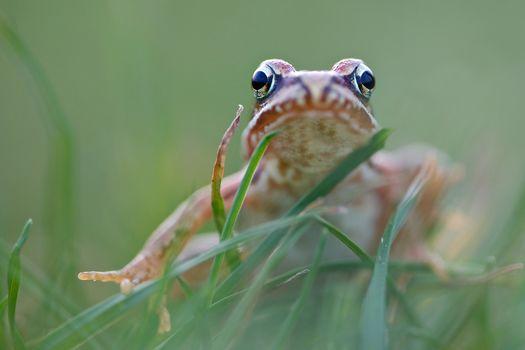 Kisenok рулит, лягушка, лягушки, жаба, жабы, земноводные, макро