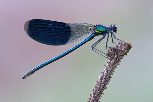 Kisenok рулит, стрекоза, стрекозы, крылышки, крылья, насекомое, насекомые, макро
