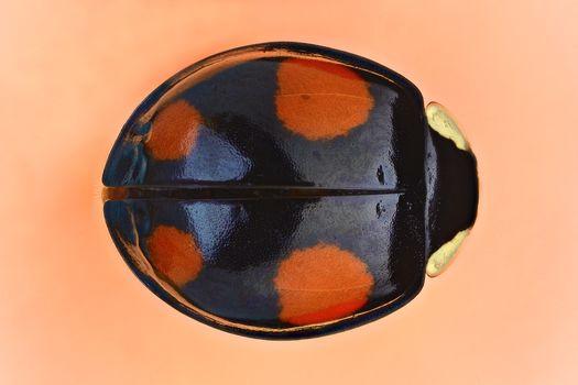 Kisenok рулит, жук, жуки, насекомое, насекомые, макро, божья коровка