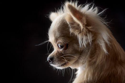чихуахуа, собака, мордочка, портрет, чёрный фон