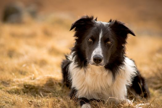 Kisenok taxis, enter a tag to search for site, dog, Dog, Border Collies, animals