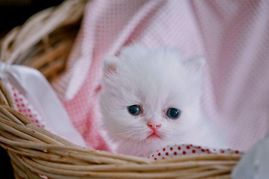 Персидская кошка, котёнок, малыш, милашка, взгляд