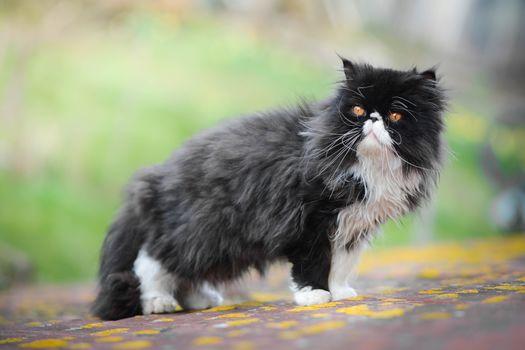 Персидская кошка, кот, пушистый, серьёзный