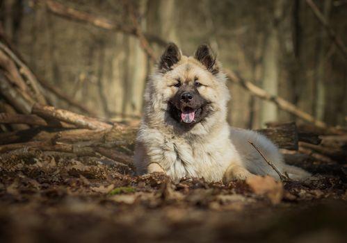 Evrazier, dog, dog