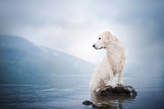 Golden retriever, Golden Retriever, dog, water, lake, fog, a rock