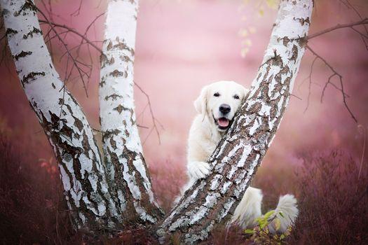 Golden retriever, Golden Retriever, dog, trees, birch