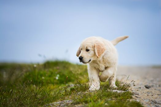 Golden retriever, Golden Retriever, dog, puppy