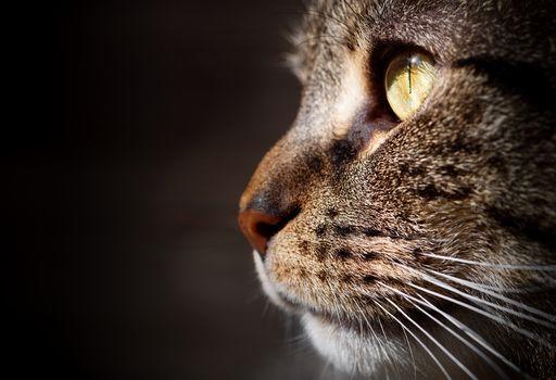 кот, кошка, мордочка, профиль, портрет, фон, макрос