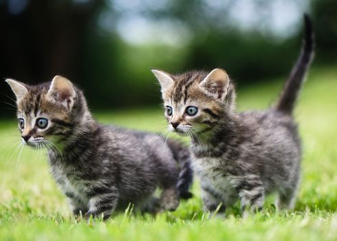 kittens, kids, couple, twins, walk