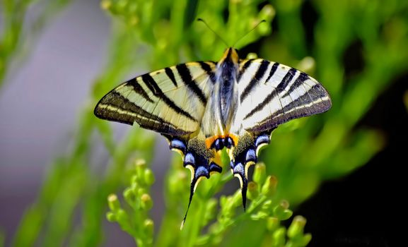 Подалирий, бабочка, макрос, размытость