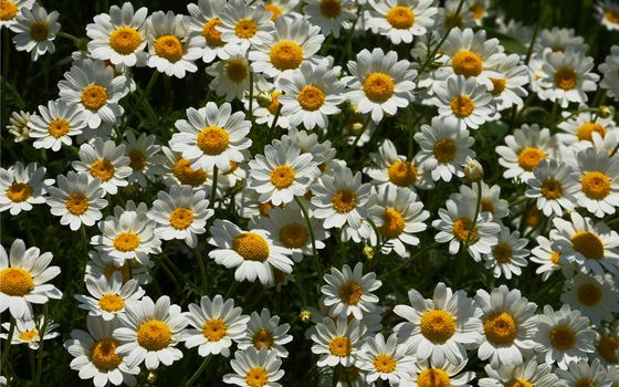 chamomile, many, love does not love