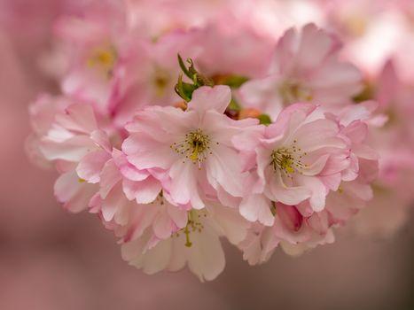 вишня, цветение, цветки, макрос