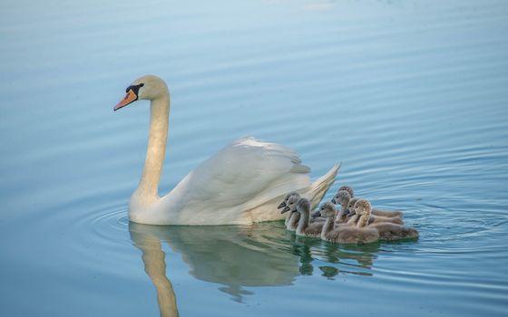 лебедь, птицы, птенцы, животные, водоём, вода, природа