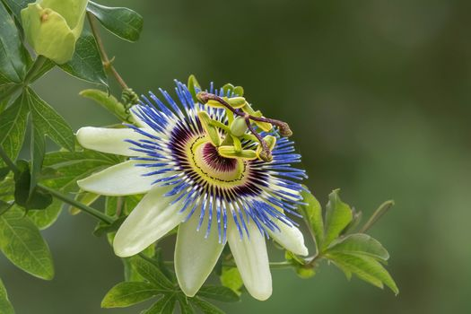 Passiflora, passionflower, Passiflora, flower, flora