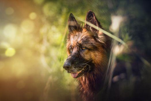 German Shepherd, shepherdess, dog, muzzle, hips