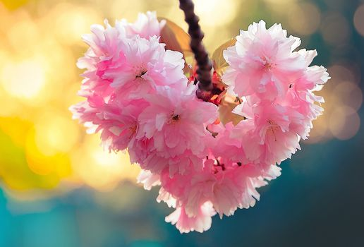 сакура, вишня, ветка, цветение, цветки, сердце, макрос