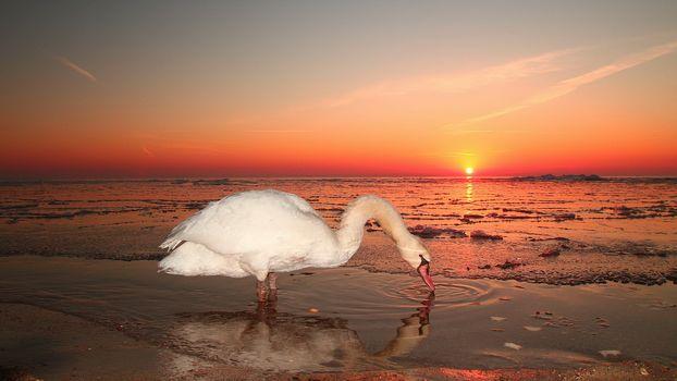 Лебеди в лучах заката (16:9, 30 шт)