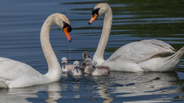 Лебединая семья (16:9)