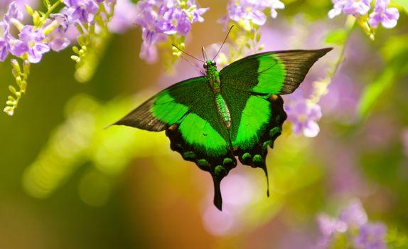 Парусник Палинур, бабочка, цветы, Дюран, макрос, бедра