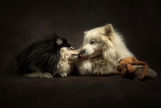 dog, darkness, portrait, dogs, couple, druganы, a toy, Samoyed