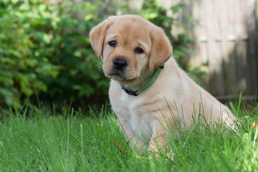 Golden retriever, Golden Retriever, dog, puppy, sight